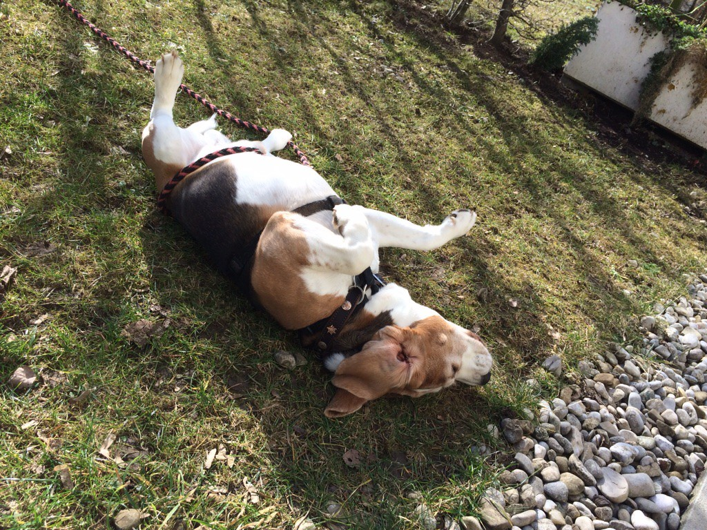 Hundeblog miDoggy - Beagle Benni