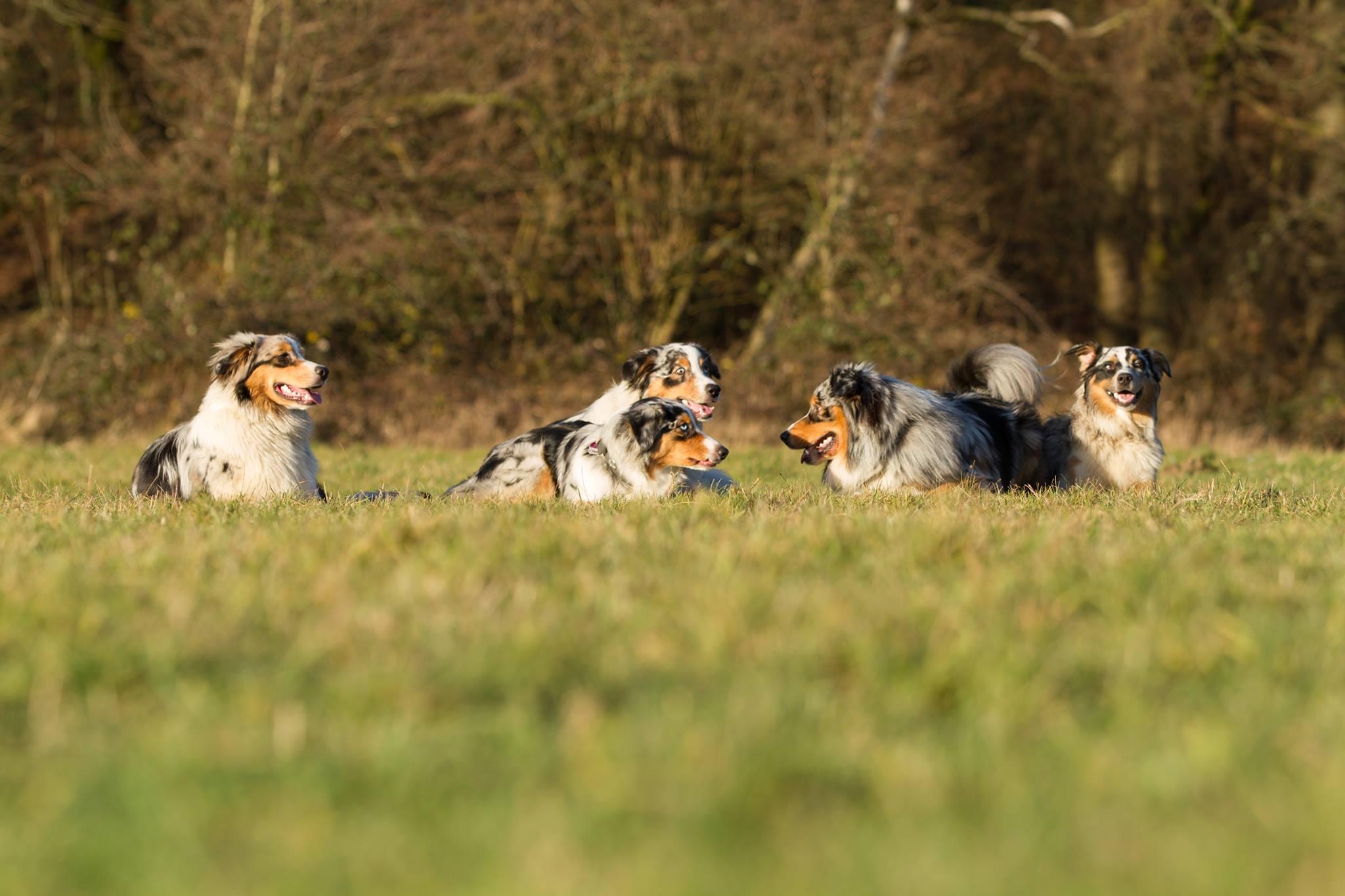 Australian Shepherd - Hundeblog miDoggy