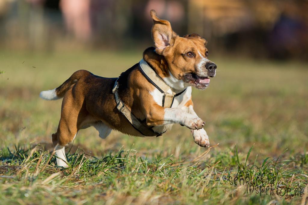 Beagle Timmy - Hund-Blog miDoggy