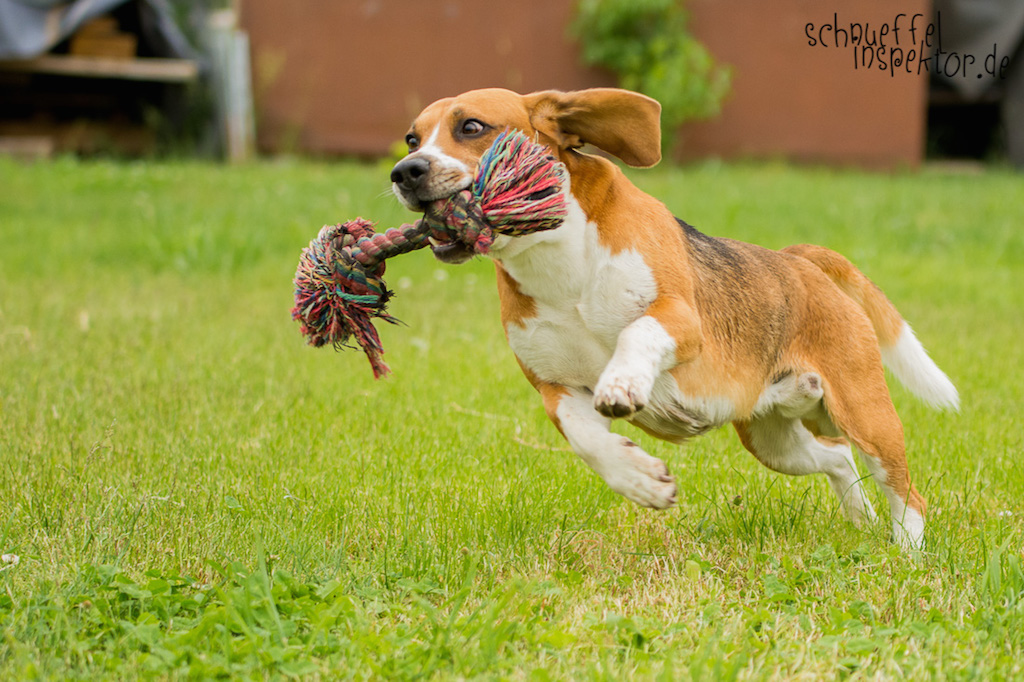 Beagle Timmy - Hund-Blog miDoggy
