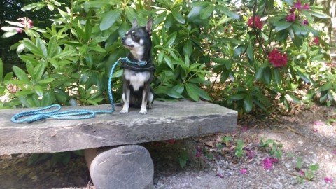 miniDoggy Chihuahua Blue: bestimmt kein Taschenhund