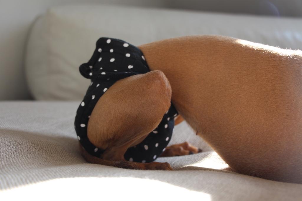 Läufigkeitshosen - Hundeblog miDoggy