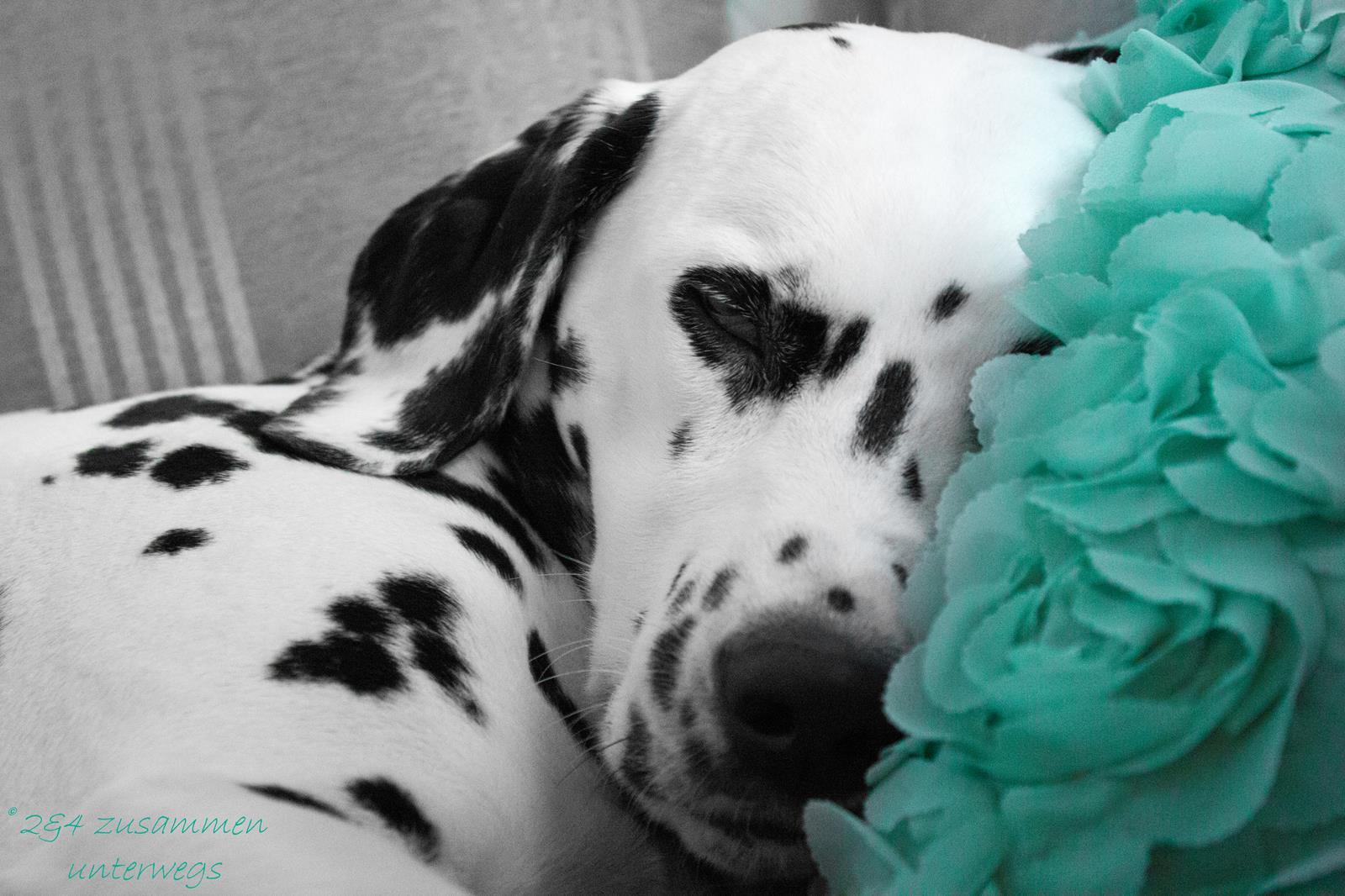 Dalmatiner Allie Hunde-Blog miDoggy