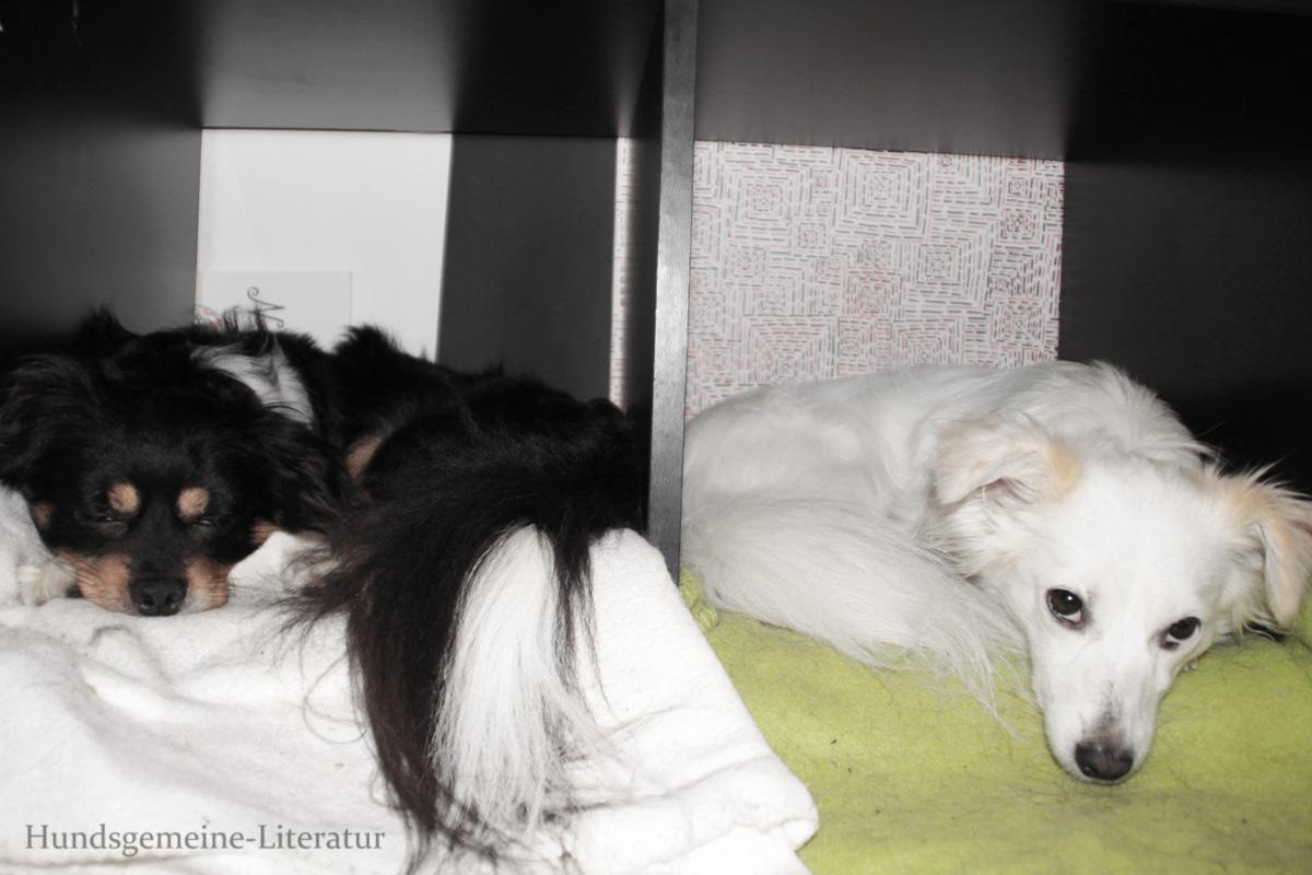 Hunde Blog miDoggy Kokoni