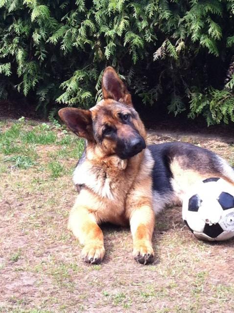 Hunde Blog miDoggy Schäferhund 2