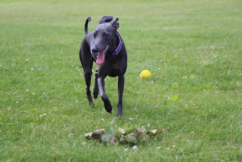 Italienische Windspiele Hunde-Blog miDoggy