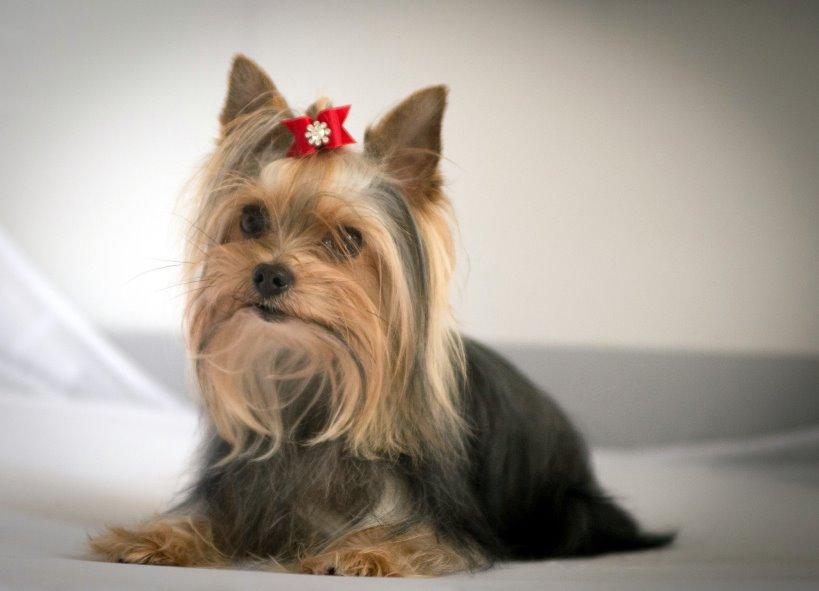 Yorkshire Terrier Blog - Blanket mit Schleifchen