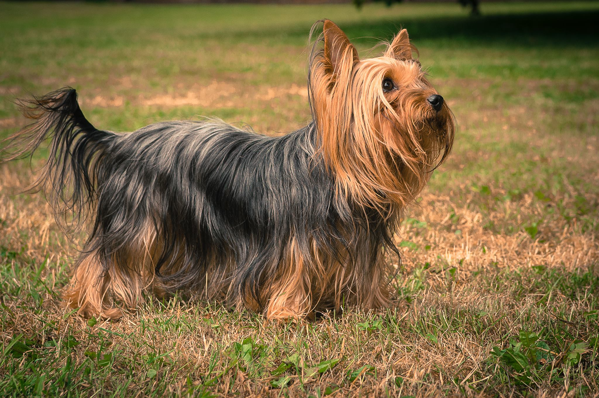 Yorkshire Terrier Blog - Langhaar-Yorkie Amy