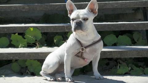 miniDoggy Französische Bulldogge Wilma: Das etwas andere Rasse-Portrait – Zu Wort kommt: der Hund!