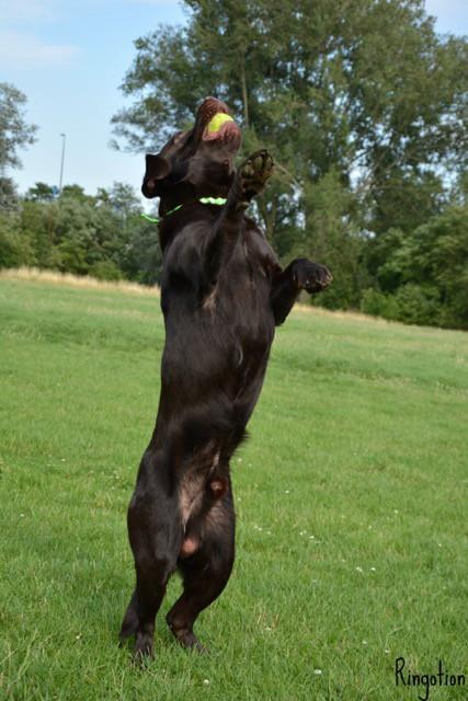 Labrador Hundeportrait miDoggy