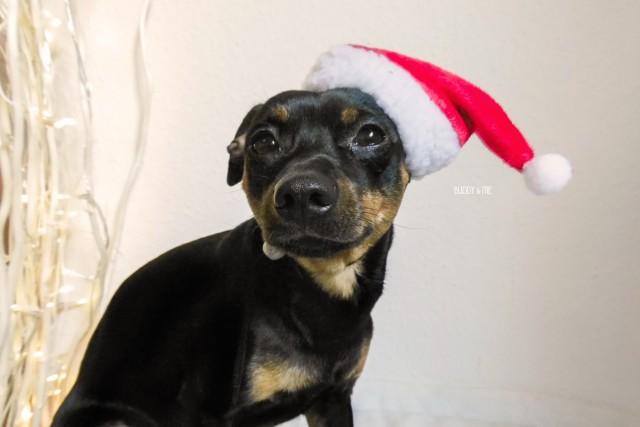 Weihnachtsgeschichte Melody und Buddy Hundeblog miDoggy