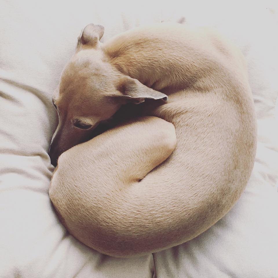 dog donut miDoggy