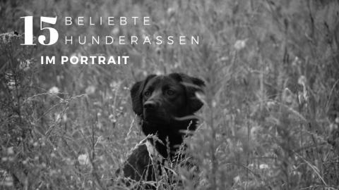 Im Portrait: 15 beliebte Hunderassen